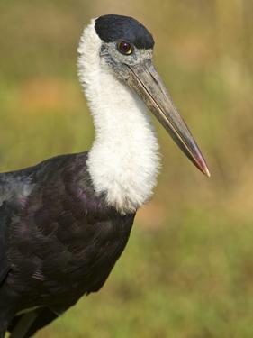 Close-Up of a Woolly-Necked Stork (Ciconia Episcopus) Bird, India