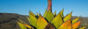 Close-Up of Agave Plant, Baja California, Mexico