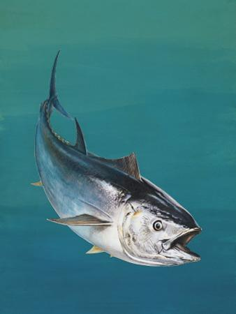 Close-Up of an Atlantic Bluefin Tuna (Thunnus Thynnus)