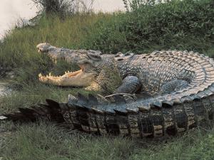Close-Up of an Australian Saltwater Crocodile, Kakadu National Park, Australia (Crocodylus Porous)