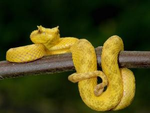 Close-Up of an Eyelash Viper, Arenal Volcano, Costa Rica