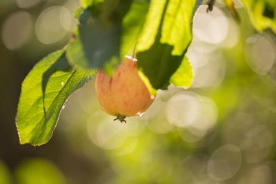 https://imgc.allpostersimages.com/img/posters/close-up-of-apple-tree-branch-with-apple-on-bokeh-background_u-L-Q1EXZIK0.jpg?artPerspective=n