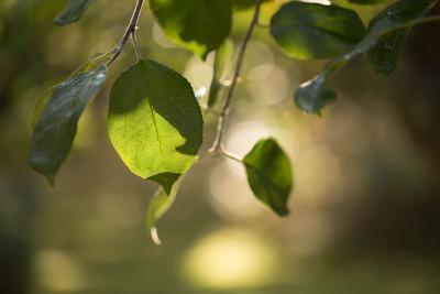 https://imgc.allpostersimages.com/img/posters/close-up-of-apple-tree-leaves-with-bokeh_u-L-Q1EXXR90.jpg?artPerspective=n