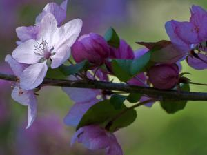 Close-Up of Azalea Flowers and Buds, Winterthur Gardens, Delaware, USA