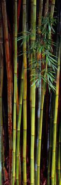 Close-Up of Bamboos, Kanapaha Botanical Gardens, Gainesville, Florida, USA