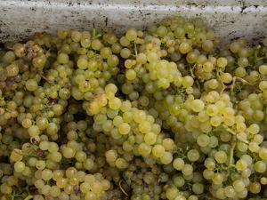 Close-up of Chardonnay grapes, Church Road Tom Chardonnay, Hawke's Bay, Hastings, North Island,...