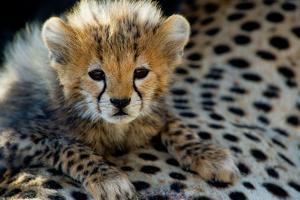 Close-Up of Cheetah (Acinonyx Jubatus) Cub, Ndutu, Ngorongoro Conservation Area, Tanzania