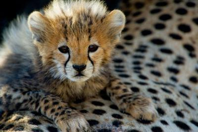 Close-Up of Cheetah (Acinonyx Jubatus) Cub, Ndutu, Ngorongoro Conservation Area, Tanzania