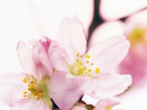 Close Up of Cherry Blossom