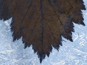 Close-Up of Delicate Maple Leaf Frozen in Ice Crystals