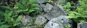 Close-up of Ferns on Rocks, Moose River, Adirondack Mountains, New York State, USA