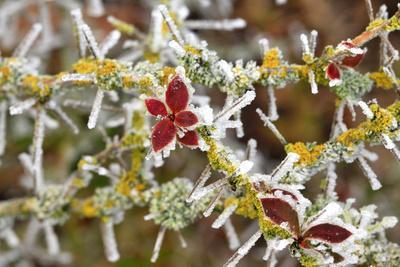 https://imgc.allpostersimages.com/img/posters/close-up-of-frosted-cotoneaster-plant-oregon-usa_u-L-PN6Q8T0.jpg?p=0
