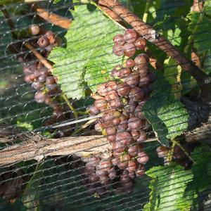 Close-up of grapes on vine behind netting, Hawke's Bay, Hastings, North Island, New Zealand