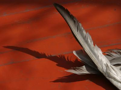 Close-up of Gray Feathers Lying on a Red Wooden Floor