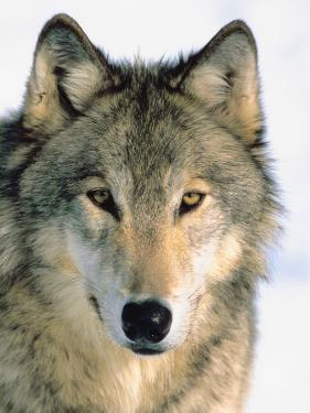 Close Up of Gray Wolf Head in Nature