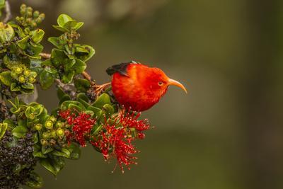 https://imgc.allpostersimages.com/img/posters/close-up-of-iiwi-bird-on-ohia-tree-hakalau-forest-nwr-hawaii-usa_u-L-PXR7T80.jpg?p=0