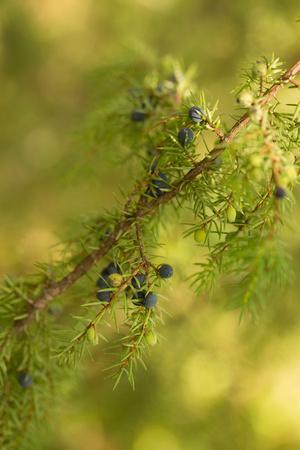 https://imgc.allpostersimages.com/img/posters/close-up-of-juniper-berries-juniperus-communis_u-L-Q1EXSZK0.jpg?artPerspective=n