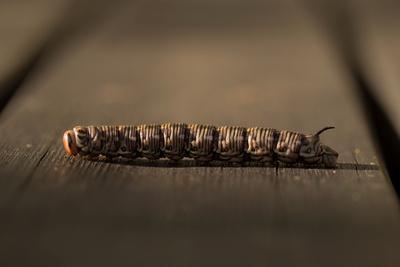 https://imgc.allpostersimages.com/img/posters/close-up-of-larva-of-sphinx-pinastri_u-L-Q1F2OF40.jpg?artPerspective=n