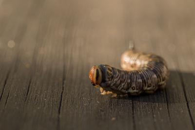 https://imgc.allpostersimages.com/img/posters/close-up-of-larva-of-sphinx-pinastri_u-L-Q1F2P8J0.jpg?artPerspective=n