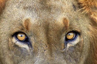https://imgc.allpostersimages.com/img/posters/close-up-of-male-lion-kruger-national-park-south-africa_u-L-POBWOR0.jpg?p=0