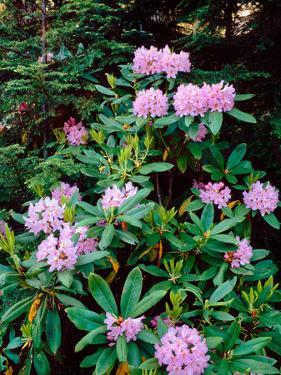 Close-up of Pacific rhododendron (Rhododendron macrophyllum) flowers blooming on plant, Mt Hood...