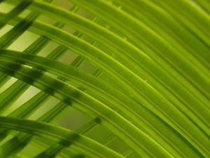 Close-Up of Palm Leaves Creating a Diagonal Background in Cameroon, Africa