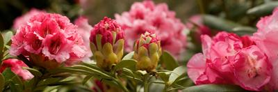 Close-Up of Pink Rhododendron Flowers in Bloom