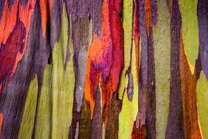 Close-up of Rainbow Eucalyptus (Eucalyptus deglupta) tree, Maui, Hawaii, USA
