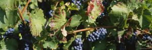 Close-Up of Red Grapes in a Vineyard, Finger Lake, New York, USA