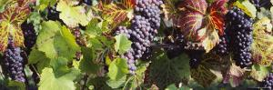 Close-Up of Red Grapes in a Vineyard, Finger Lake Region, New York, USA