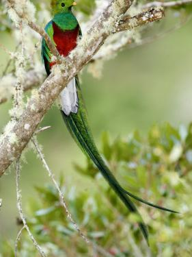 Close-Up of Resplendent Quetzal Perching on a Branch, Savegre, Costa Rica