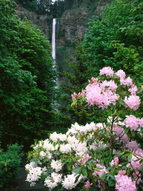 Close-up of Rhododendron flowers, Multnomah Falls, Columbia River Gorge National Scenic Area, Mu...
