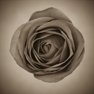Close-Up of Sepia Rose