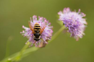 https://imgc.allpostersimages.com/img/posters/close-up-of-syrphidae-with-flower_u-L-Q1EYIUN0.jpg?artPerspective=n