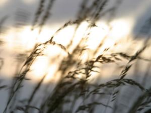 Close-Up of Tall Grass Blowing in Rural Field