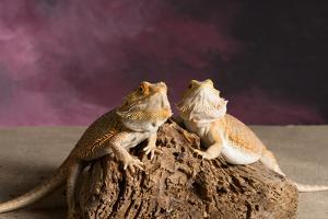 Close-up of two Bearded dragon on rock