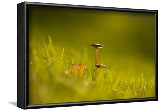 Close-up of two mushtrooms bathing in sunlight-Paivi Vikstrom-Framed Photographic Print