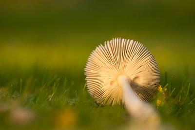 https://imgc.allpostersimages.com/img/posters/close-up-of-underside-of-a-mushroom-lying-in-grass_u-L-Q1EXQ5X0.jpg?artPerspective=n