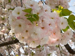 Close-Up of White Cherry Blossom Flowers, Imperial Garden, Tokyo, Japan