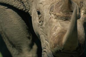 Close-Up of White Rhinoceros