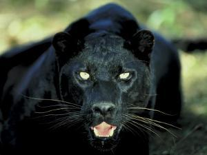 Close Up of Wild Black Leopard Showing Teeth