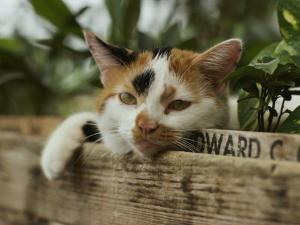 Close View of a Calico Cat with His Head Resting on Flower Box in a Green House