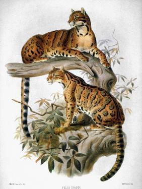 Clouded Leopard, 1883