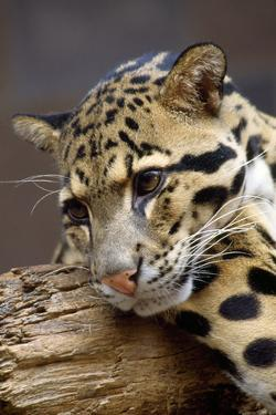 Clouded Leopard Close Up of Face