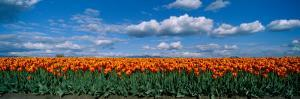 Clouds over a Tulip Field, Skagit Valley, Washington State, USA
