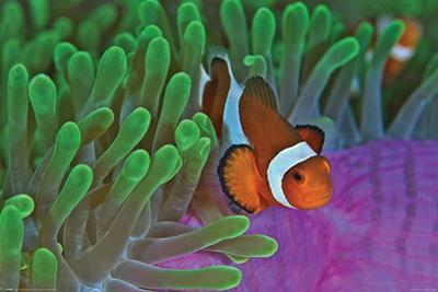 Clownfish & Anemones