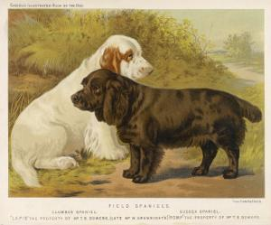 Clumber Spaniel and a Sussex Spaniel