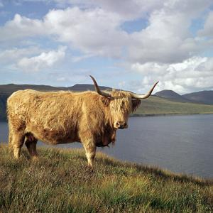 Highland Cows on the Isle of Skye by CM Dixon
