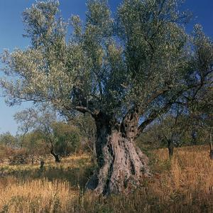 Olive Tree in Sicily by CM Dixon