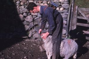 Sheep Farmer giving worm treatment to Ewe, English Lake District, c1960 by CM Dixon